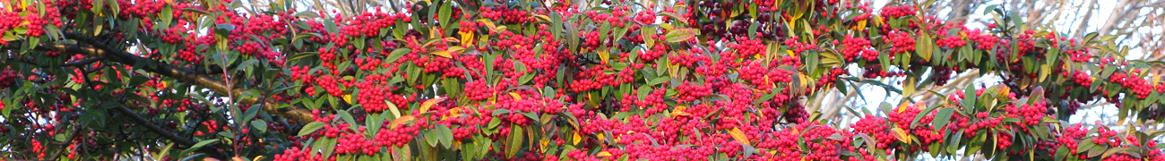 winterberries01