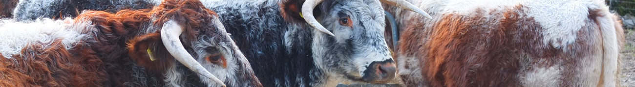 cows01-1